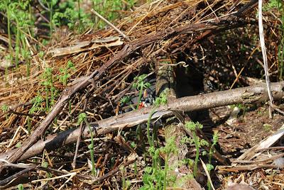 guinea nest branches