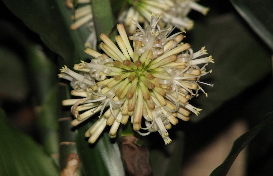 flor dracaena deremensis