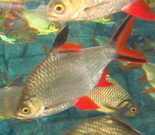 Sensasi Tarikan Ikan Lampam (Tengadak) kapiat. umpan .tips trik.spot