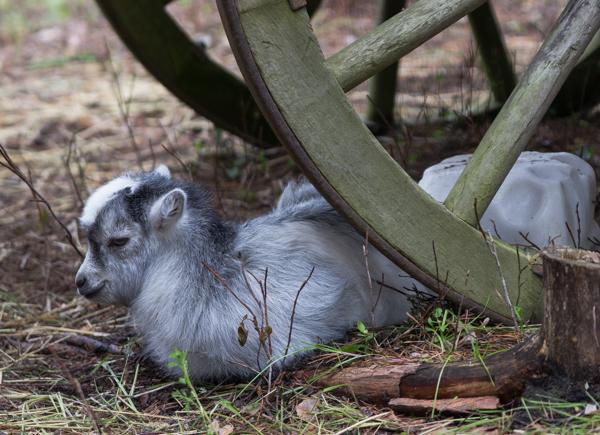 PauMau blogi nelkytplusbloggari nelkytplus Tykkimäki huvipuisto Kouvola lasten eläintarha eläinpuisto kotieläin kotieläinpuisto vuohi poikanen valkoinen
