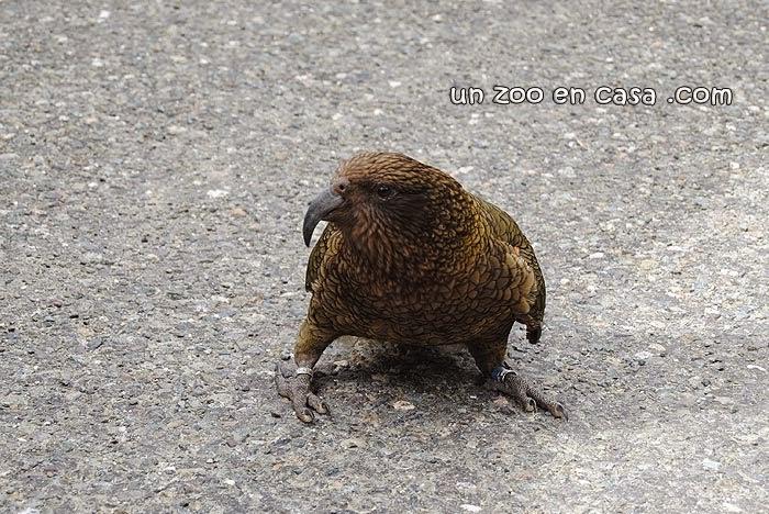 Kea (Nestor notabilis) en Nueva Zelanda