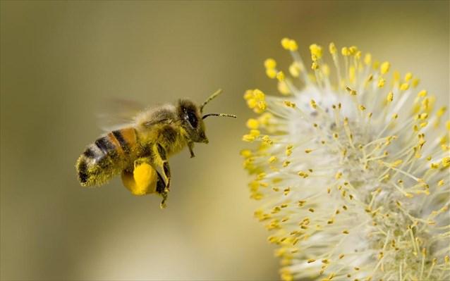 Δύο νέες έρευνες συνδέουν τα νεονικοτινοειδή παρασιτοκτόνα με τη μείωση του πληθυσμού των μελισσών