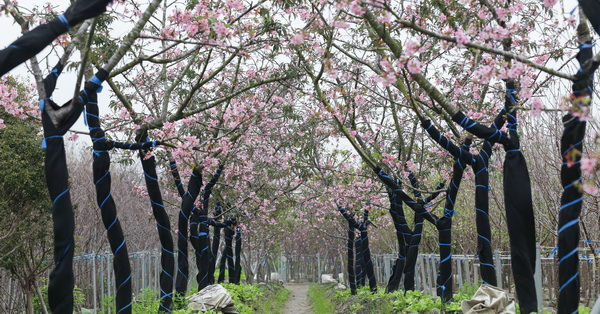《台中.烏日》2018芬園花卉生產休憩園區-河津櫻花開,免費參觀