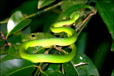 Bako National Park Green Viper