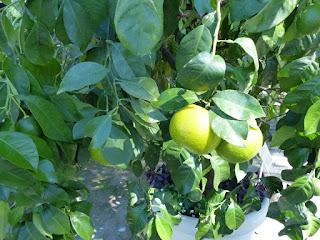 Citrus sinensis - Oranger - Orange douce