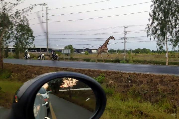 ВТаиланде сбежавшего вовремя перевозки жирафа обнаружили мёртвым — Thai Notes