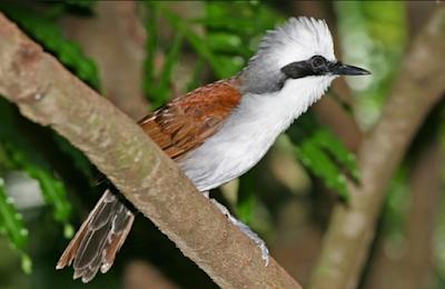 Burung Poksay Jambul Sumatera Gacor