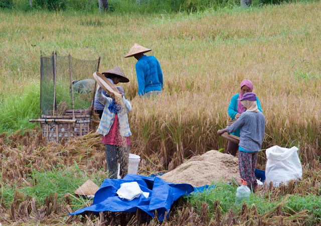 Workers in the rice fields outside of ubud