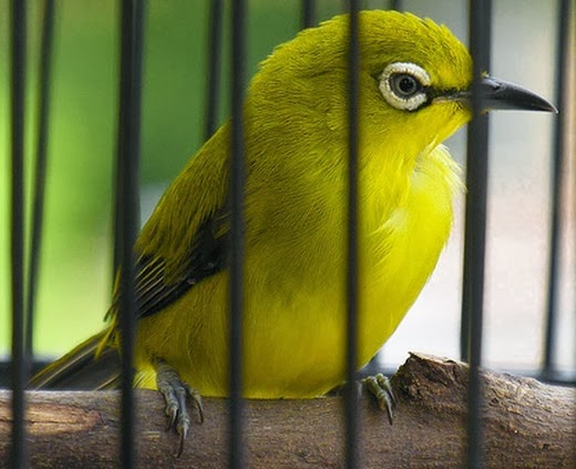 Untuk memperoleh burung pleci yang berkwalitas dari segi bunyi  Tips Meracik Pakan Terbaik Burung Pleci