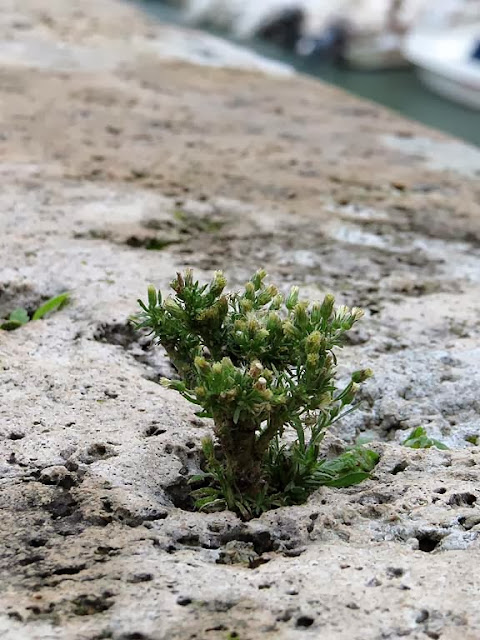 Plants growing on the parapet of the Fosso Reale, Scali Saffi, Livorno