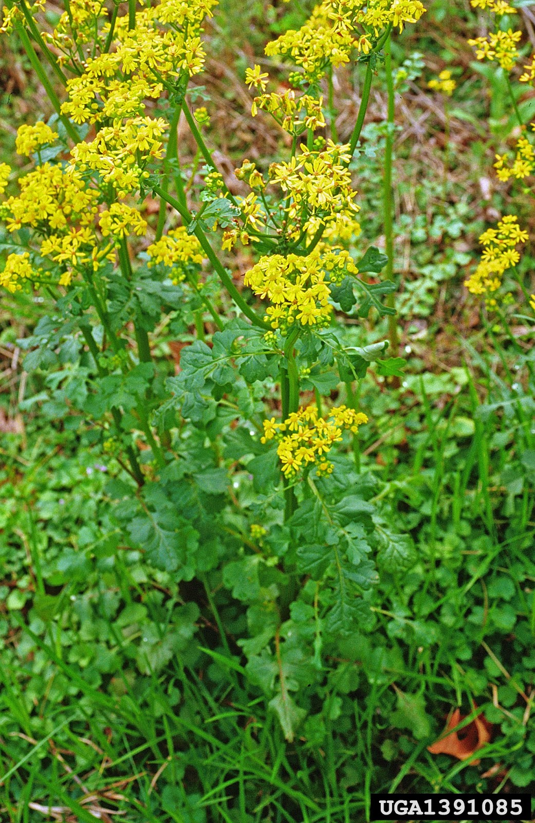 Earth And Space News Barbarea Vulgaris Golden Spring Flowers Of