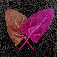 liście łobody ogrodowej