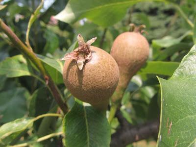 Frutti immaturi in accrescimento Pyrus communis