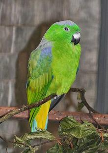 Dalam bahasa Inggris dikenal dengan nama  Mengenal Burung Kring-Kring Buru