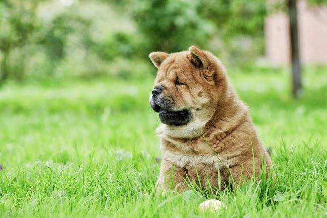 Psy rasy Chow chow
