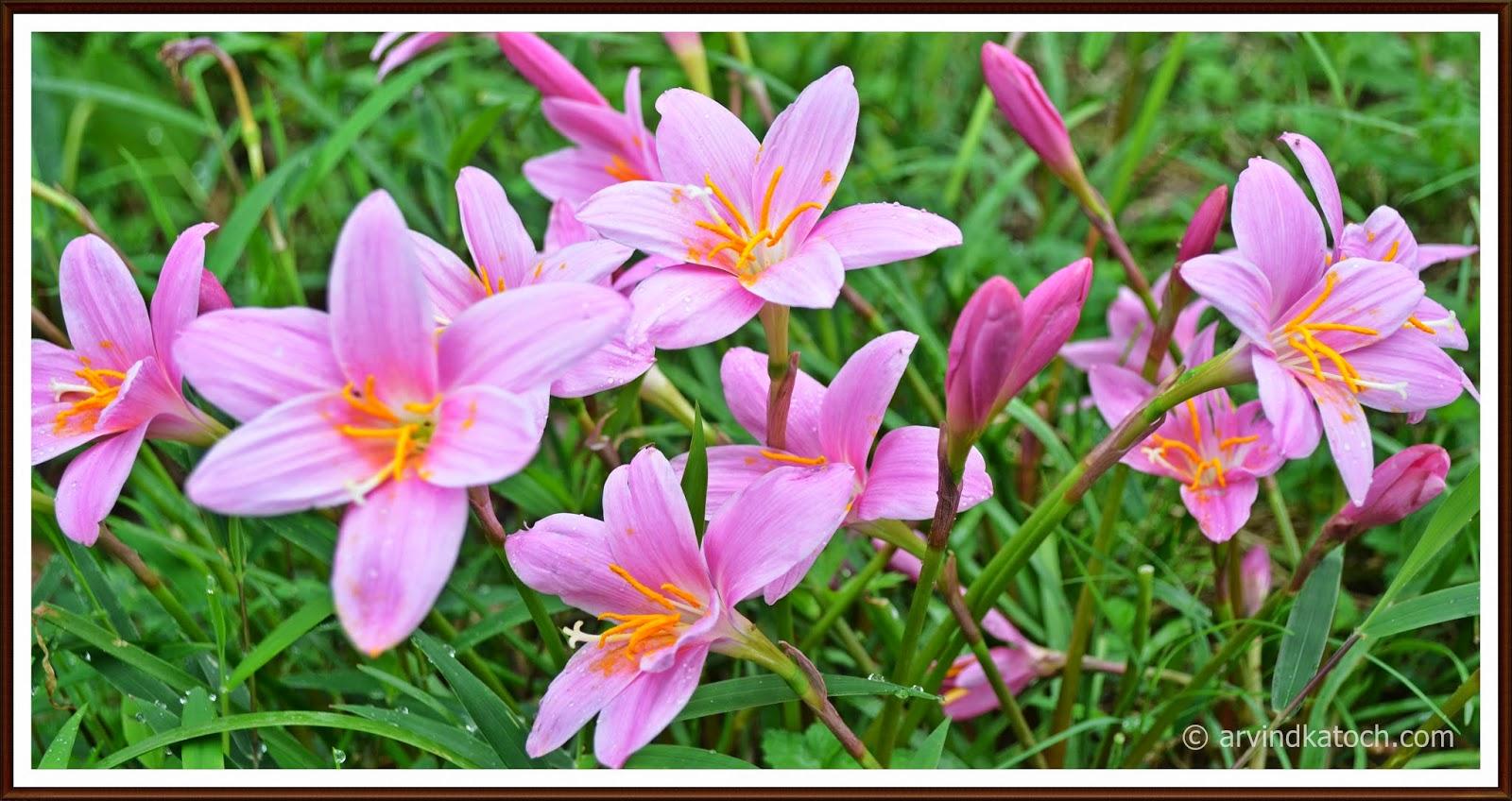 Pink Flower, Grass flower, Himalayan flower, Hiamchal,