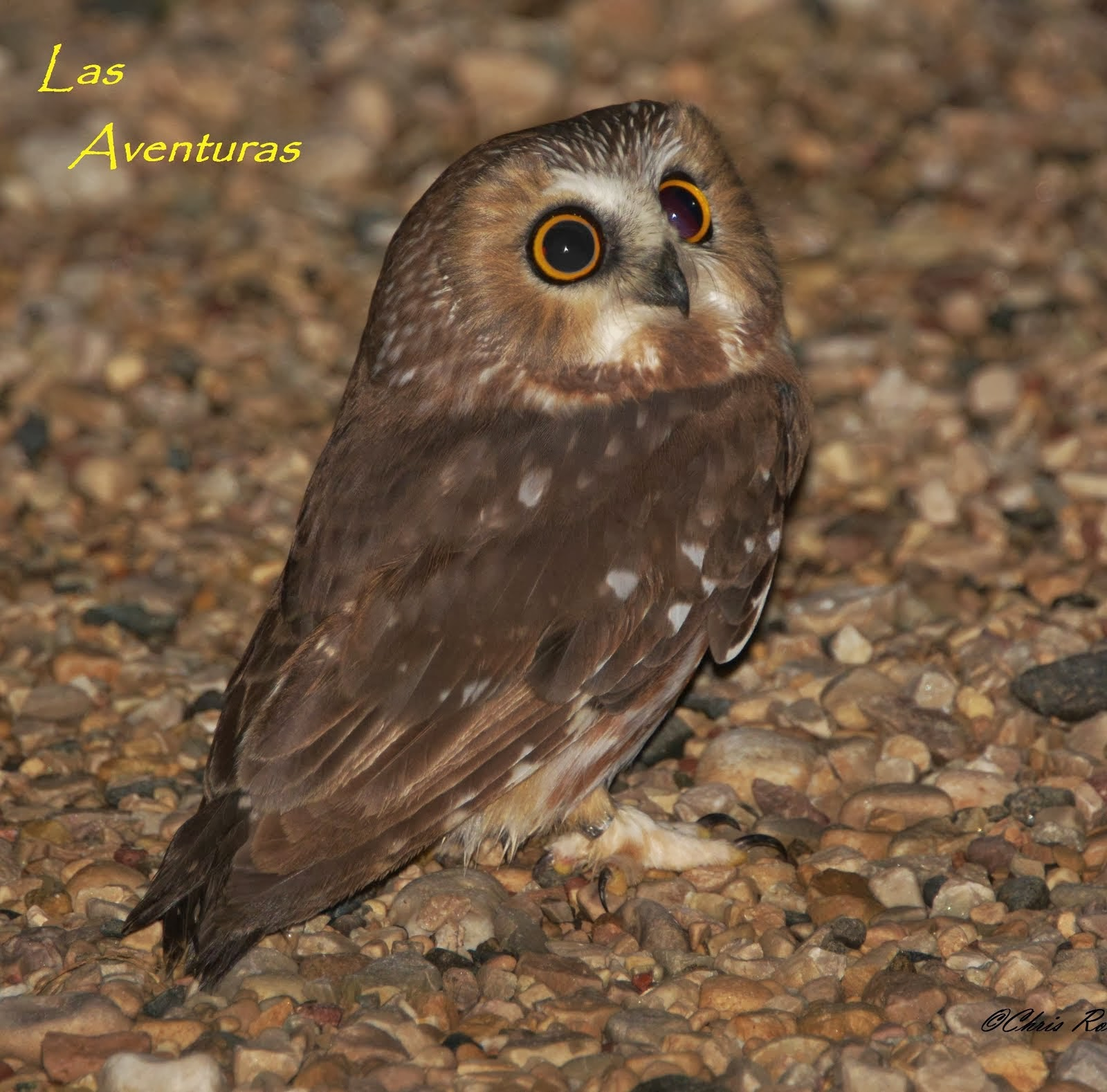 the breeding and way of life of the saw whet Northern saw-whet owl (aegolius acadicus) background: another important conservation practice is to make sure your cutting is outside the breeding season fish & marine life upcoming events apr 18 wed 7:30 pm owl prowl owl prowl apr 18.