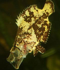 Ikan Daun Air Tawar monster amazon