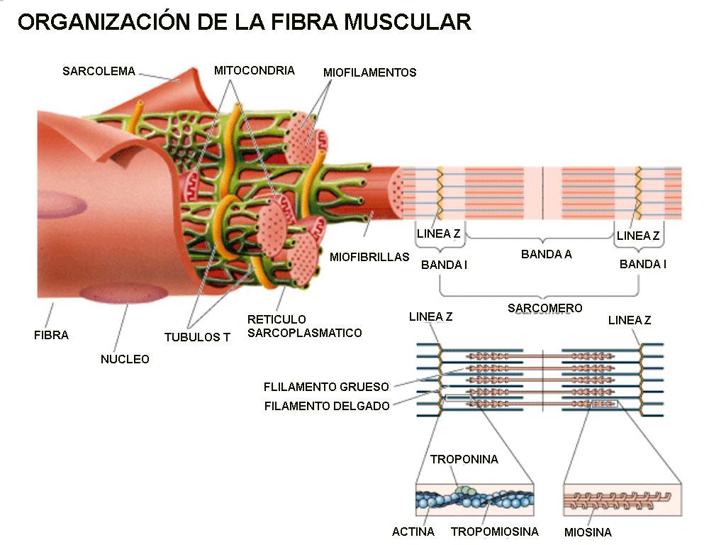 Elongación Por Biomecánica Fisiología Del Tejido