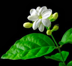 Tanaman Herbal Untuk Sakit Kepala