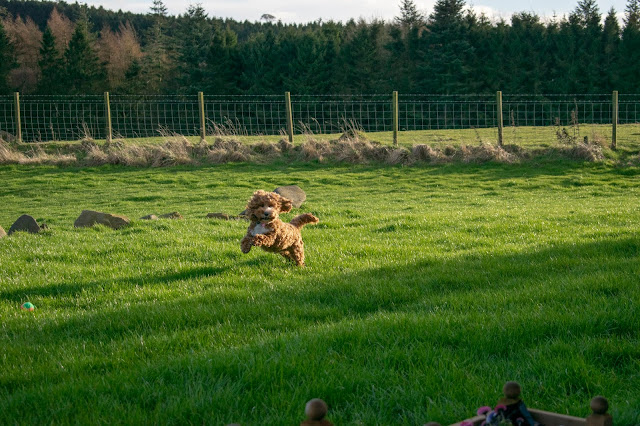 Red and white cockapoo puppy jumping in field