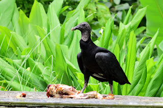 black vulture and turkey carcass