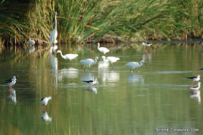 Ocells observats durant el mes de juliol