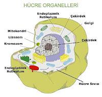 Bir hücre yapısındaki organellerin gösterimi