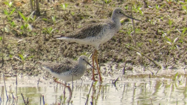 Greater Yellowlegs Calling