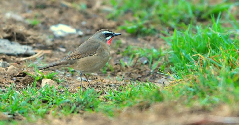 Rubythroat Tours Review