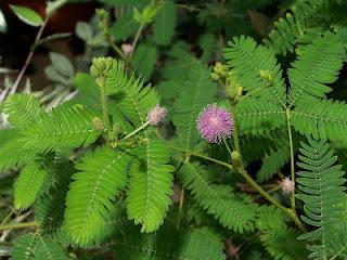 daun putri aib untuk mengatasi insomnia secara tradisional