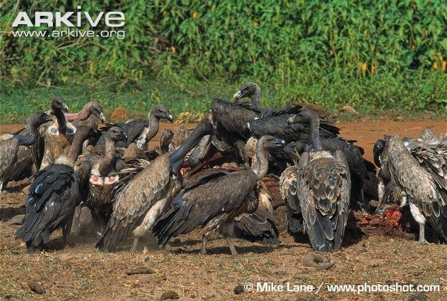 interactions between vultures asian indian vulture