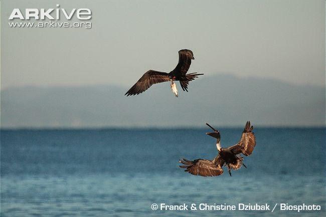 interactions between acuatic birds brown pelican