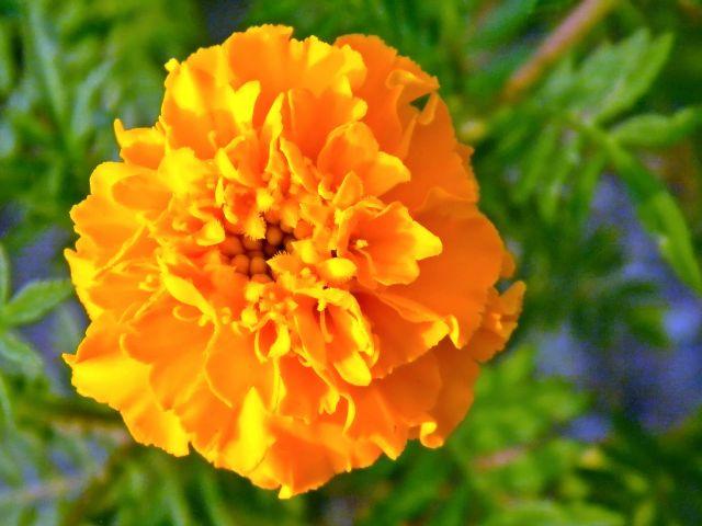 zapach, kwiat, lato, pomarańczowy
