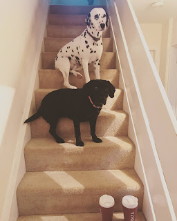 dalmation and springador on stairs