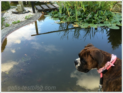 Boxer Amy am Gartenteich