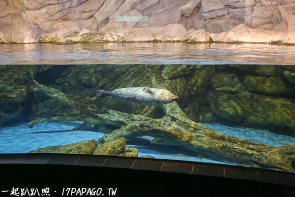 海豹展現泳姿讓大家欣賞