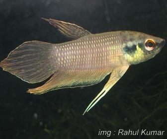 Jenis Ikan Cupang Spesies Betta Raja