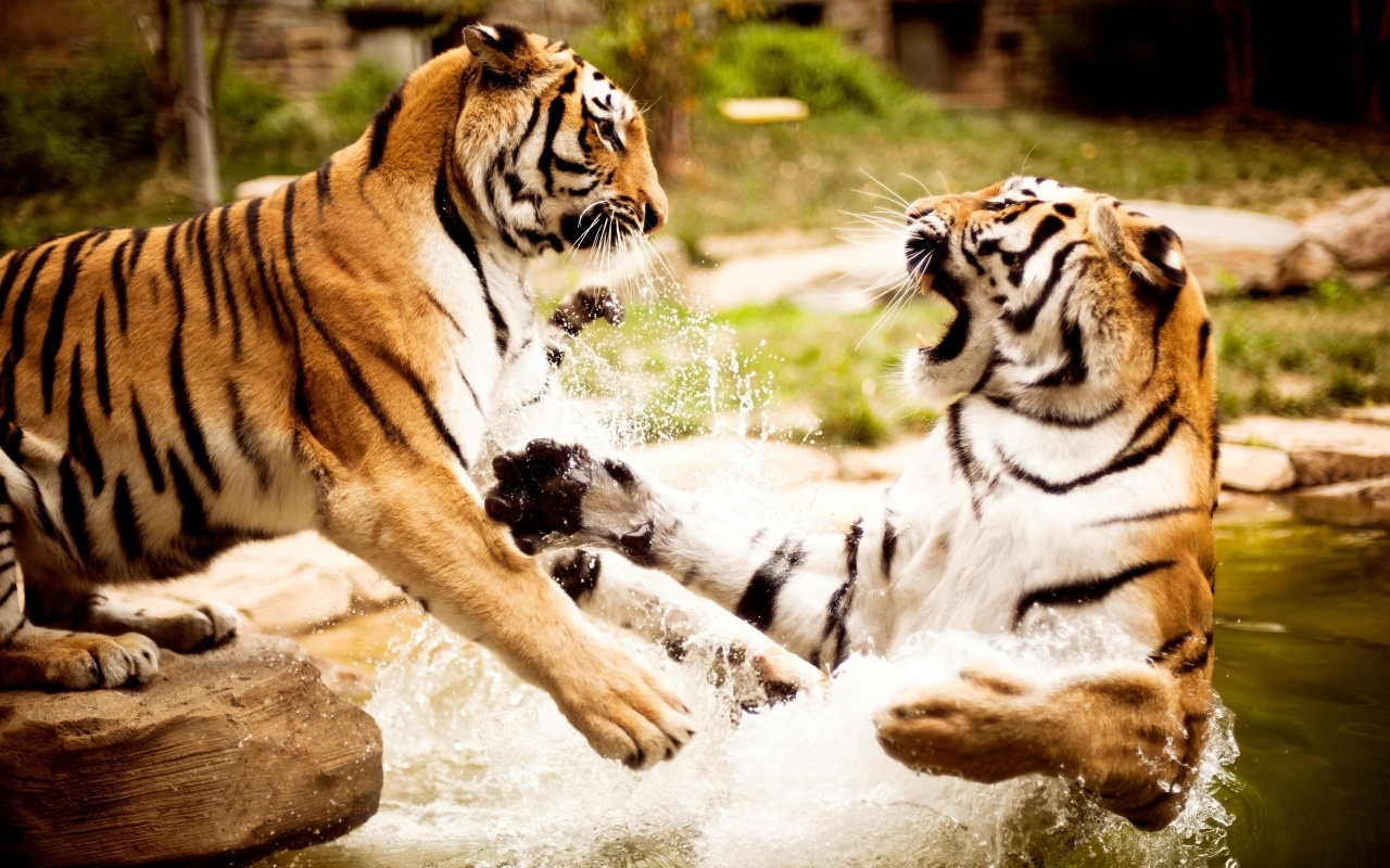 Big Wild Cats Wallpapers ~ HD Wallpapers | Free Desktop ...