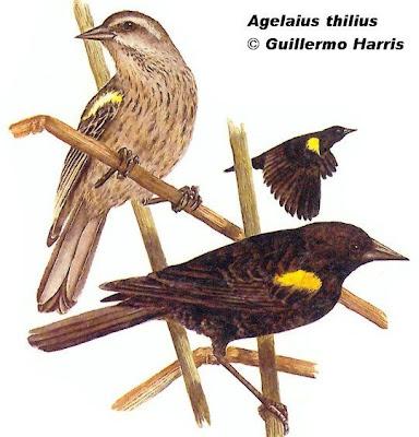 Varillero ala amarillo Agelasticus thilius