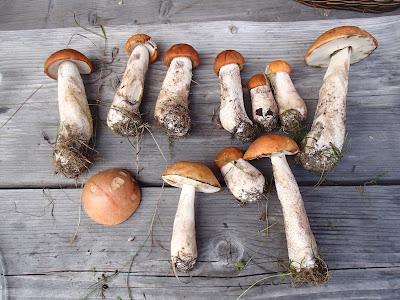 grzyby 2017, grzyby w sierpniu, grzyby na Orawie, grzyby tydzień po deszczu