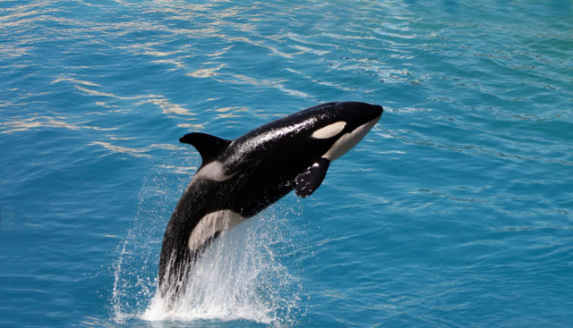 Sad Cute Baby Hd Wallpaper All Photos Gallery Orca Jumping Orca Jumping Out Of