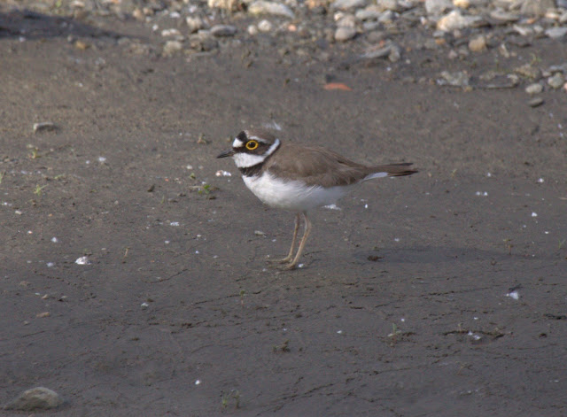 Ringed Plover Feeding Distance