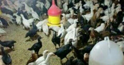 Cara Ternak Ayam Kampung Super Yang Benar Dan Mudah - SUKSES