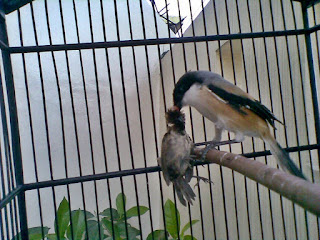 Burung Cendet - Penyakit Kutu Burung yang Menyerang Burung Cendet dan Cara Penangannannya - Penangkaran Burung Cendet Burung Cendet - Penyakit Kutu Burung yang Menyerang Burung Cendet dan Cara Penangannannya - Penangkaran Burung Cendet