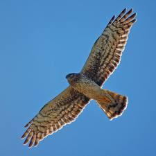 external image hawk.jpg