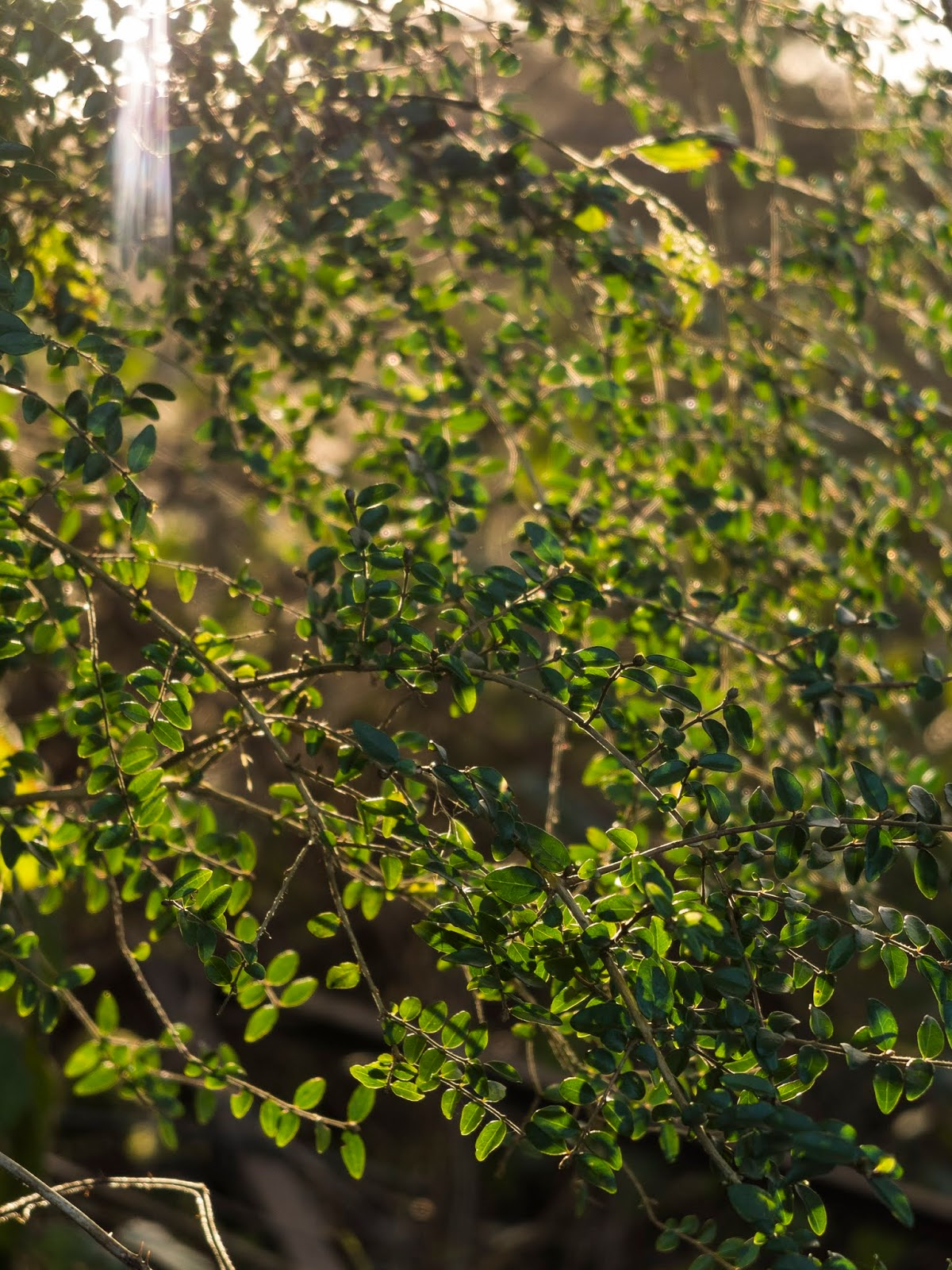 Sunset light shining through tiny ever green leaves in January.