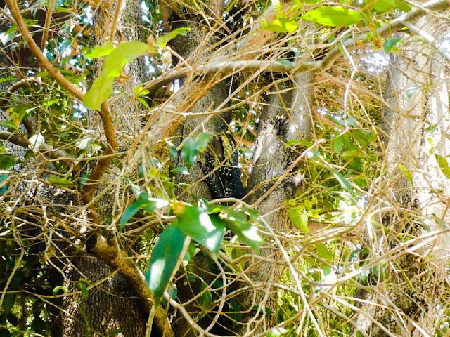 goannas tree