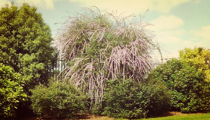 Buddleja alternifolia planta