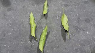 Awas dan berhati2, taktik penjenayah mendapatkan mangsa. Kalau boleh janagn lalu tepi2 sangat yang banyak daun atau sampah.